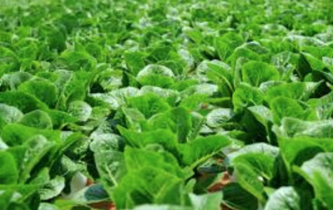 Lettuce NOT Entertain You- The CDC's Warning